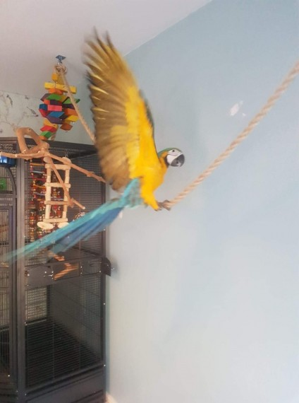 8months old Blue and Gold Hyacith macaws parrot for sale