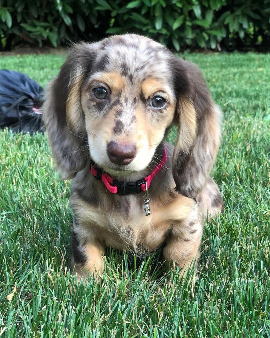 samoyed.mini dachshund puppies