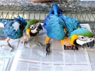 Ostrich,Macaw,African Grey,Cockatoo,Amazon,Eclectus parrot chicks and fertile eggs for sale