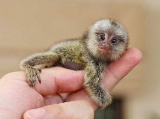 Chimpanzee, Capuchin,Squirrel,spider & marmoset monkeys available